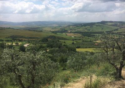 olive tree vista